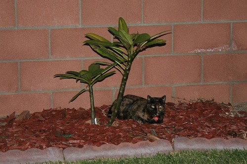 Twiggy under her plumeria we call Hawaii
